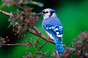 blue jay feathers c/o The Wind Whispers