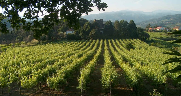 Modern trellising is now the norm for wine growing
