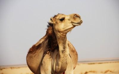 Moroccan Adventures. Carter Hammett. TheSceneinTO.com Morocco Camel Unsplash daniela-castro-220160