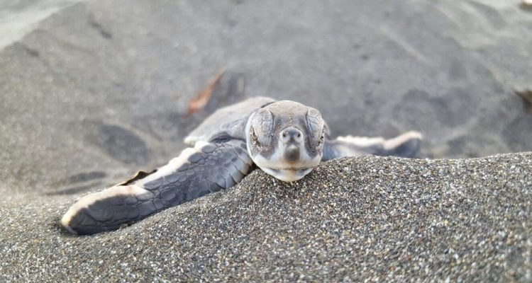Costa Rica baby Turtle. TheSceneinTO.com Contemplating Turtles in Costa Rica.